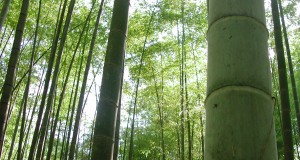 bamboo-forests